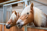 Haflinger horses in stable