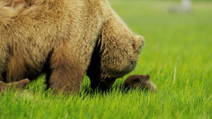 Brown female Bear with young cubs feeding from rich vegetation, Alaska, USA