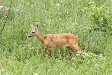 roe deer doe walking