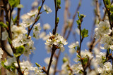blossom cherry tree with bee