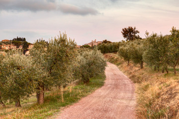 olive tree orchard in Umbria , Italy