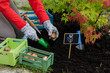 Gardening - woman  planting tulip bulbs
