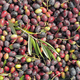 many raw olives fruits as background, harvest time,Tuscany