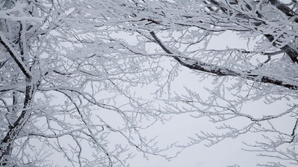 Falling snow. Winter trees