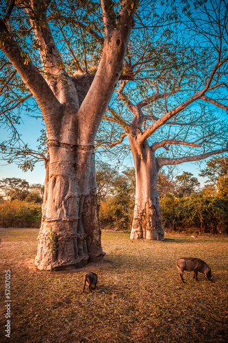 Baobab and warthog