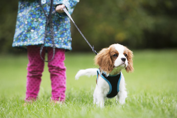 Gir Taking King Charles Puppy For Walk On Lead