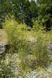 fenouil sauvage, Foeniculum vulgare