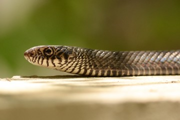 Rat snake on ground