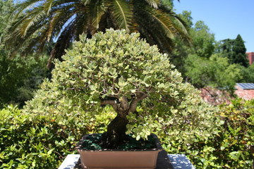 Bonsai Buxus Sempervirens Boj