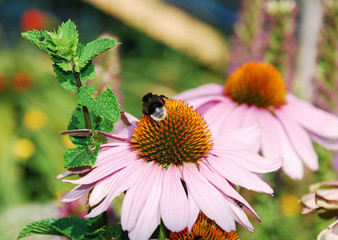 Echinacea Purpurea with Bee