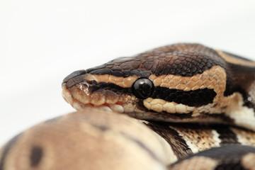 Ball Python close up