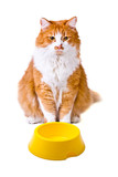 Hungry orange and white cat with empty bowl