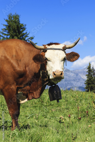 Beautiful cow in french alps