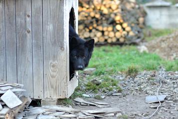 dog in dog-kennel