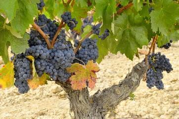 grapevine with ripe grapes