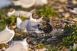 Poussin de mouette rieuse et leur(s) parent(s) au printemps