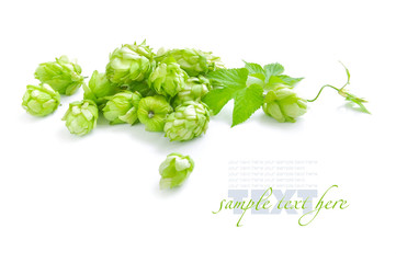 Small group of cones of hop with sheets (Humulus lupulus)