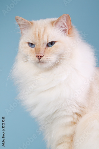 Ragdoll on a blue background