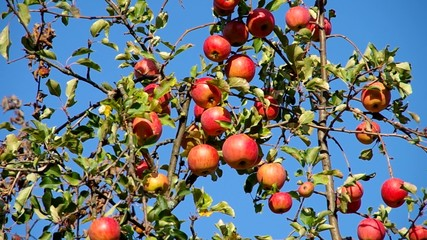 Apples on the tree
