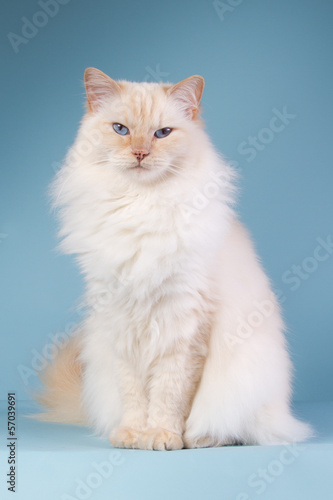 Ragdoll sitting on a blue background