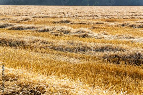 Fototapeten,weizen,corn,corn,cereal