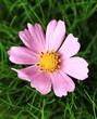 Beautiful pink flower on green grass, close up