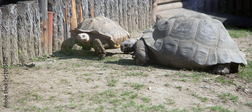 large image of very big tortoise