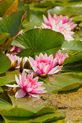 Pink flower of water lily in pond.
