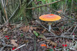 Colorful Fly Agaric mushroom