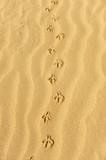Trace of a bird in the sand, animal tracks