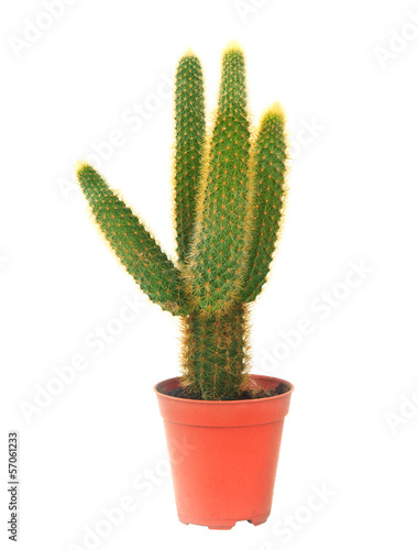 cactus in pot isolated white background