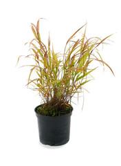 Ornamental grass Hakonechloa macra