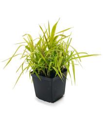 Ornamental grass Phalaris arundinacea Arctic Sun