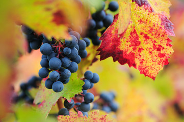 Red grapes with colorful leaves