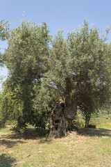 The old olive tree 2