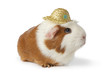 Cute lady guinea pig with hat