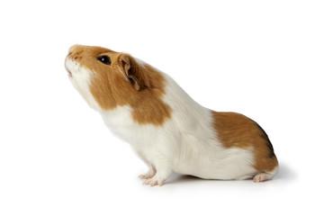 Nosy guinea pig