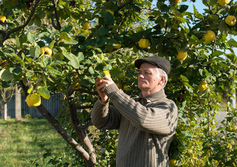 Farmer cropping quinces