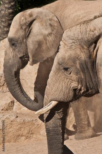 Fototapeten,elefant,ohr,tier,wildlife