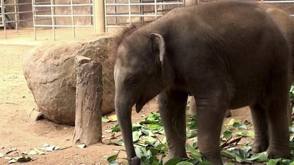 Sri Lankan Elephant baby at the Pinnawala Elephant Orphanage.