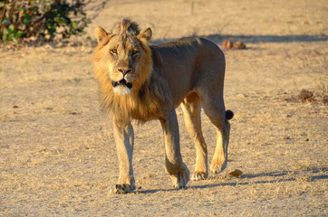 Lion walking in the sun