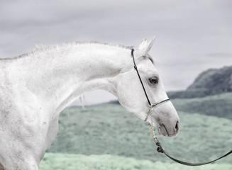 portrait of beautiful young white arabian stallion
