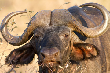 Buffalo Face Portrait stare in Kruger National Park