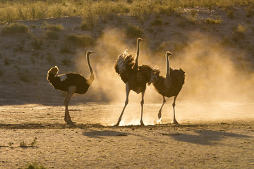 Three ostriches in the Kalahari with dust