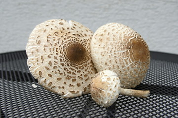 Group of parasol mushrooms on the table