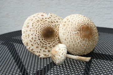 Two big and one small parasol mushrooms on the table