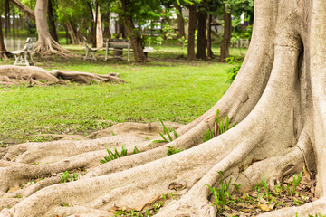 Root tree in garden.
