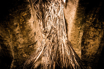 Close-up of a Banyan interlaced roots in garden.
