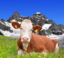 Cow on the meadow in the Swiss Alps
