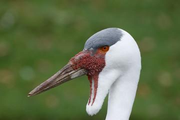 Wattled crane, Grus carunculatus